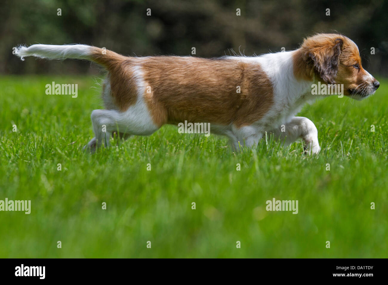 Kooikerhondje / Kooiker Hound (Canis lupus familiaris), used for duck hunting, in garden, Netherlands - Stock Image