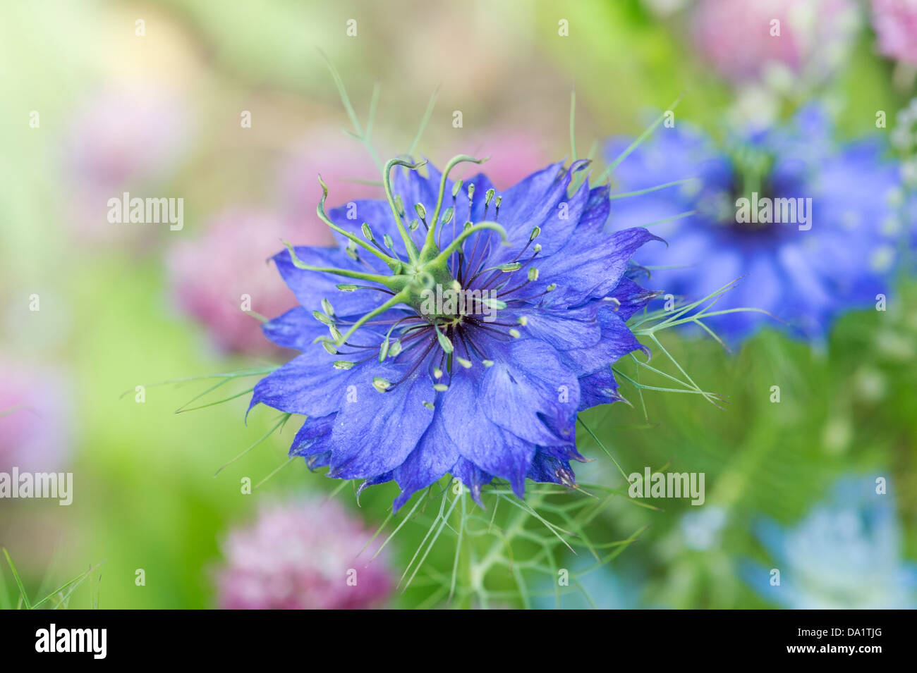 Blue mist flower growing stock photos blue mist flower growing love in a mist flower stock image izmirmasajfo