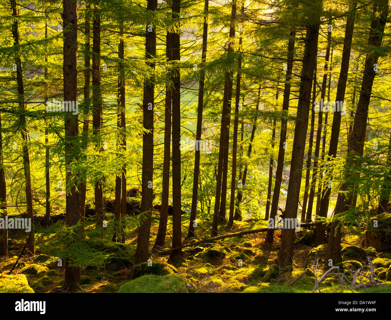 A conifer plantation in St Johns in the Vale near Keswick, Lake District, UK, at sunset. - Stock Image