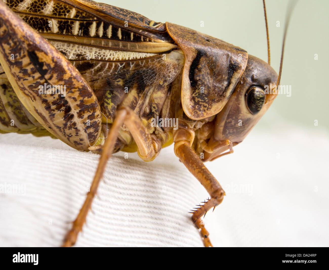 A grasshopper on Lesvos, Greece. - Stock Image