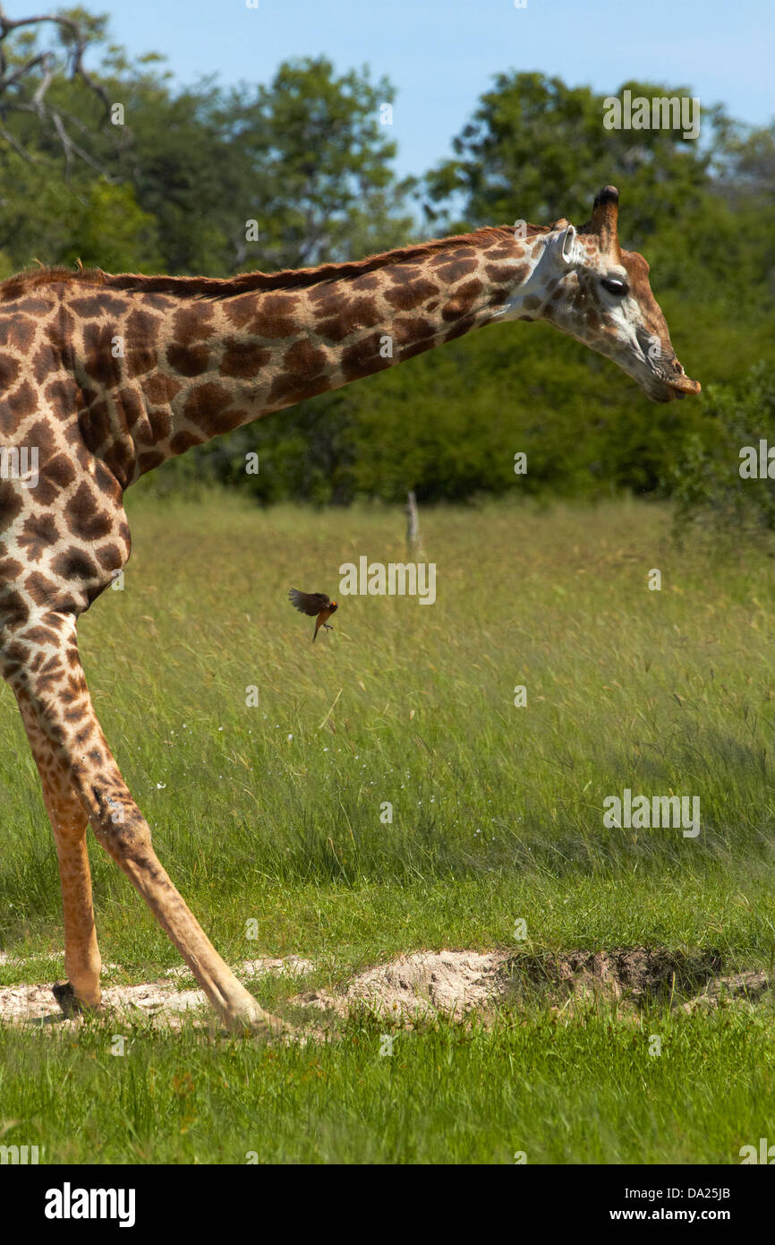 Giraffe drinking (Giraffa camelopardalis), Hwange National Park, Zimbabwe, Southern Africa - Stock Image