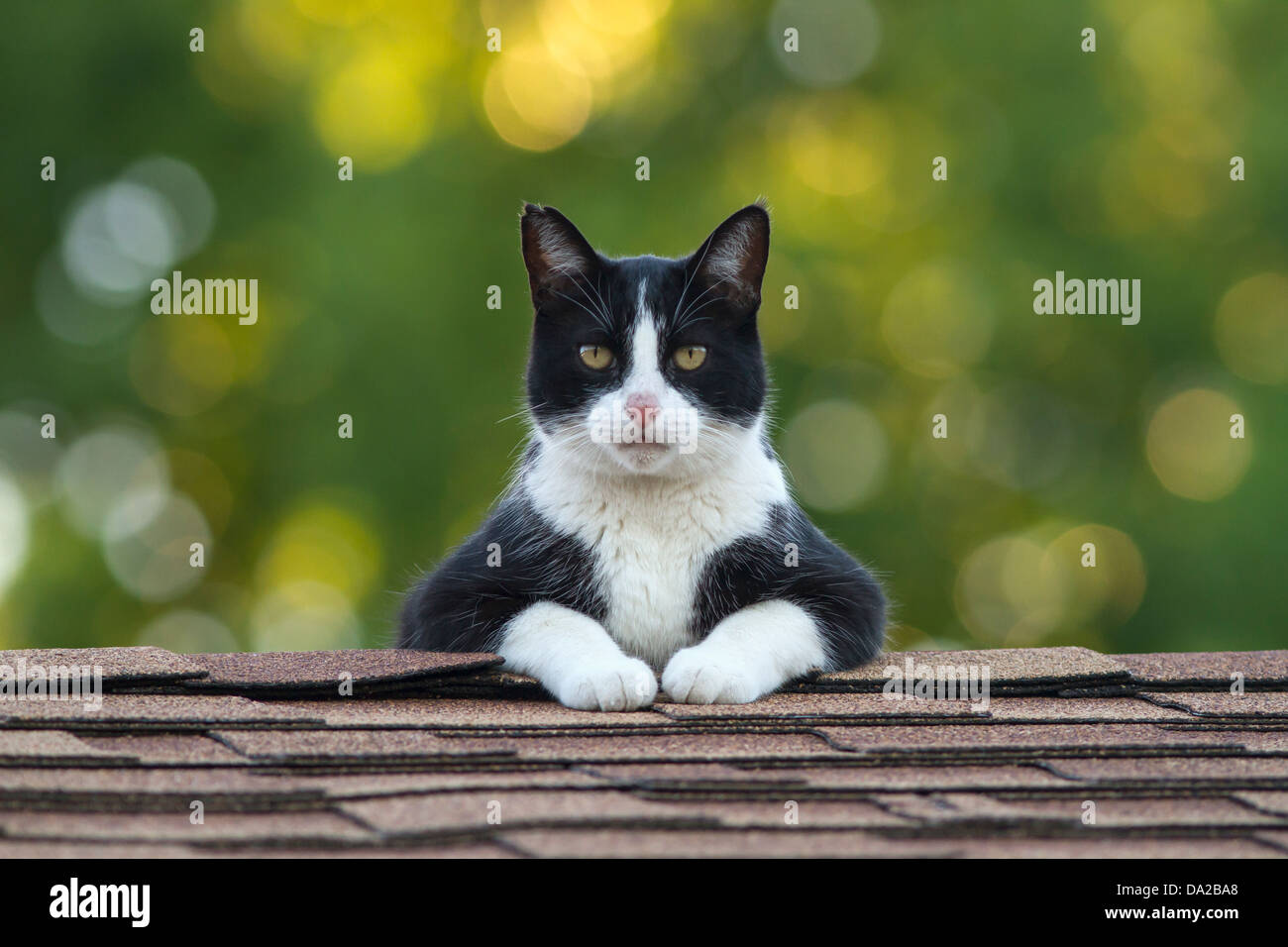 Male Tuxedo cat on top of roof staring intently - Stock Image