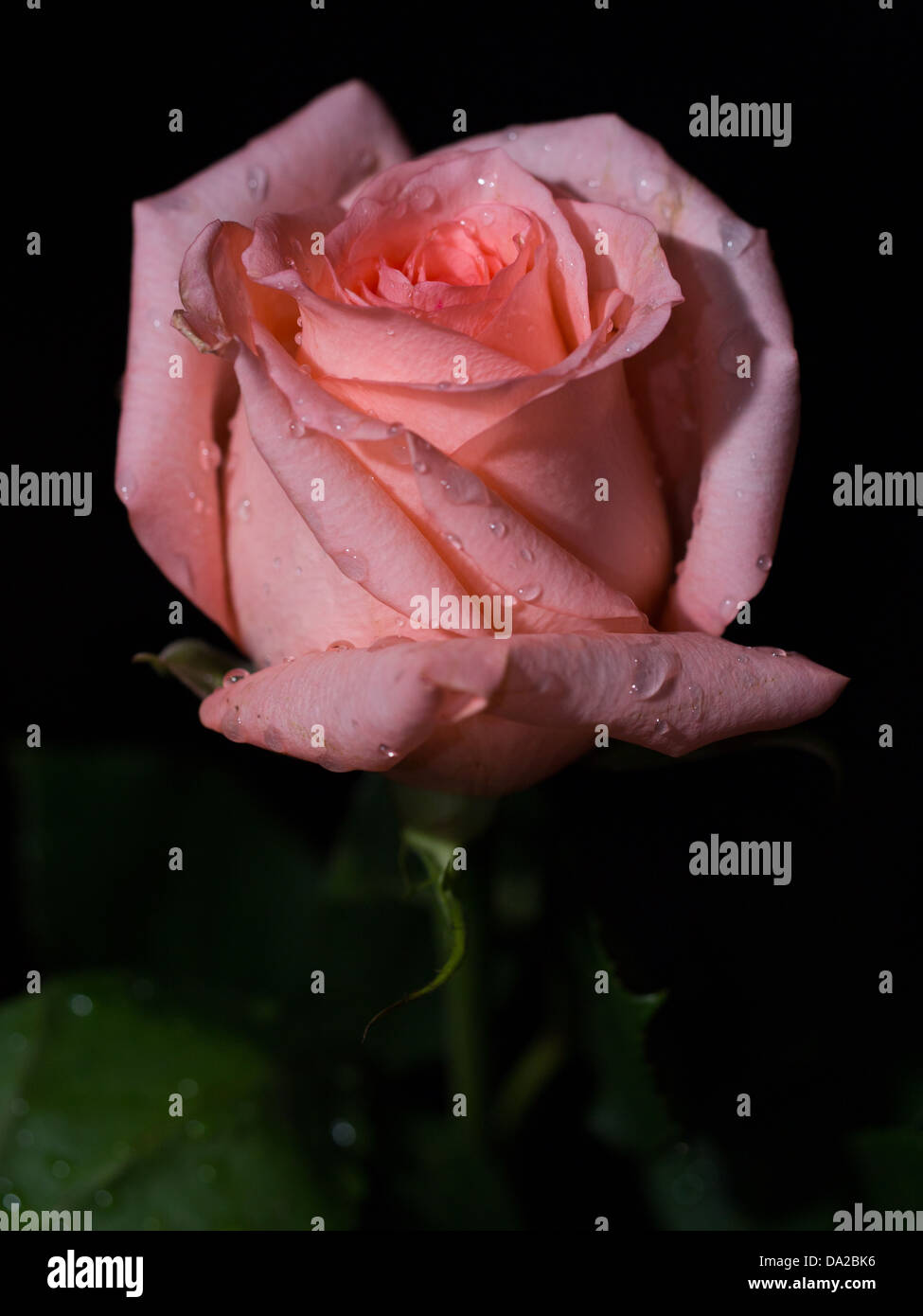 single pink rose with stem and green rose leaves dark background and