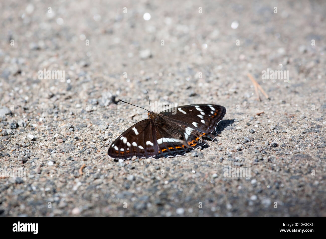 Poplar Admiral, Limenitis populi, butterfly - Stock Image
