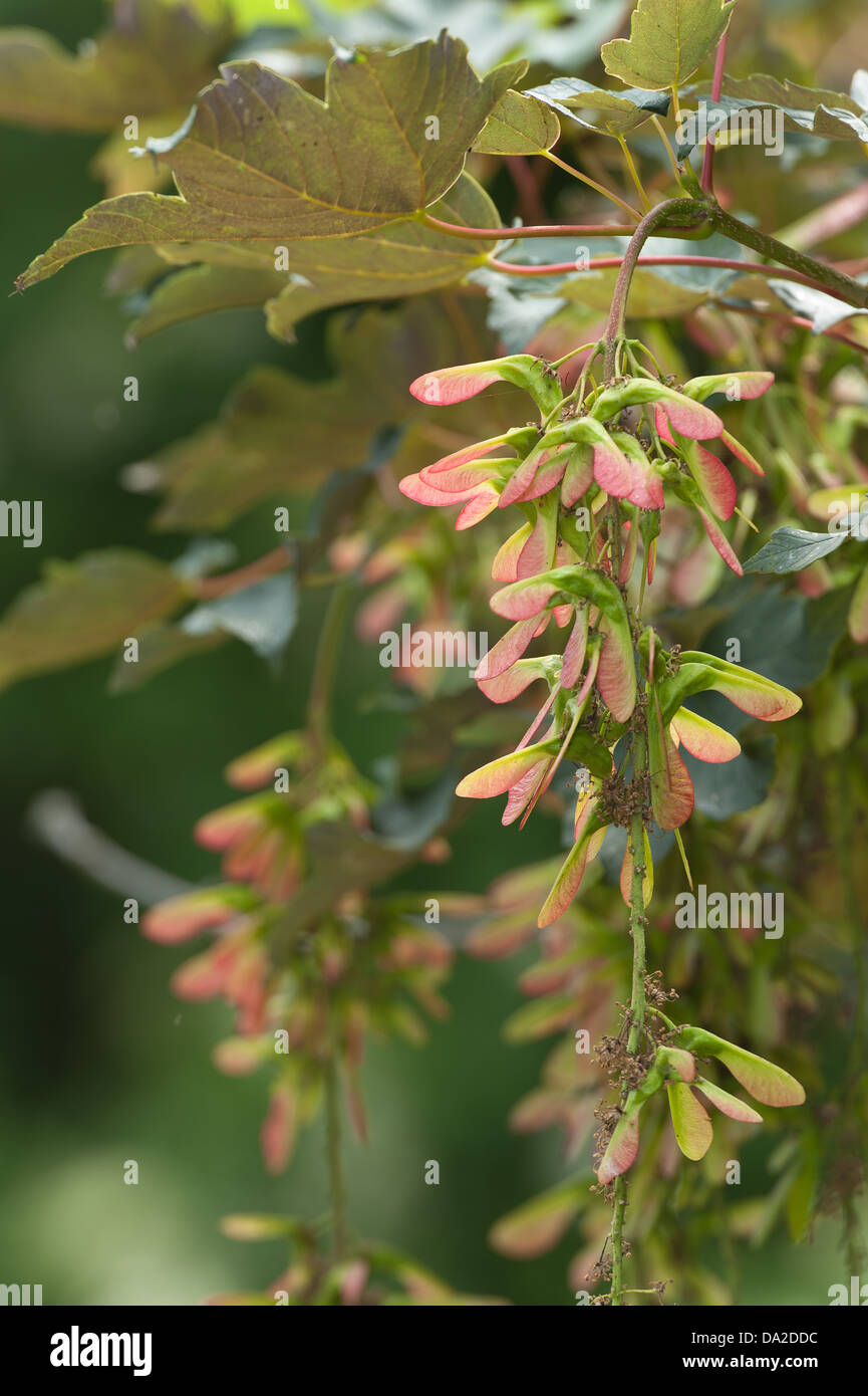 Sycamore acer tree seeds fruit developing in grape like clumps on branches ready for wind dispersal Stock Photo
