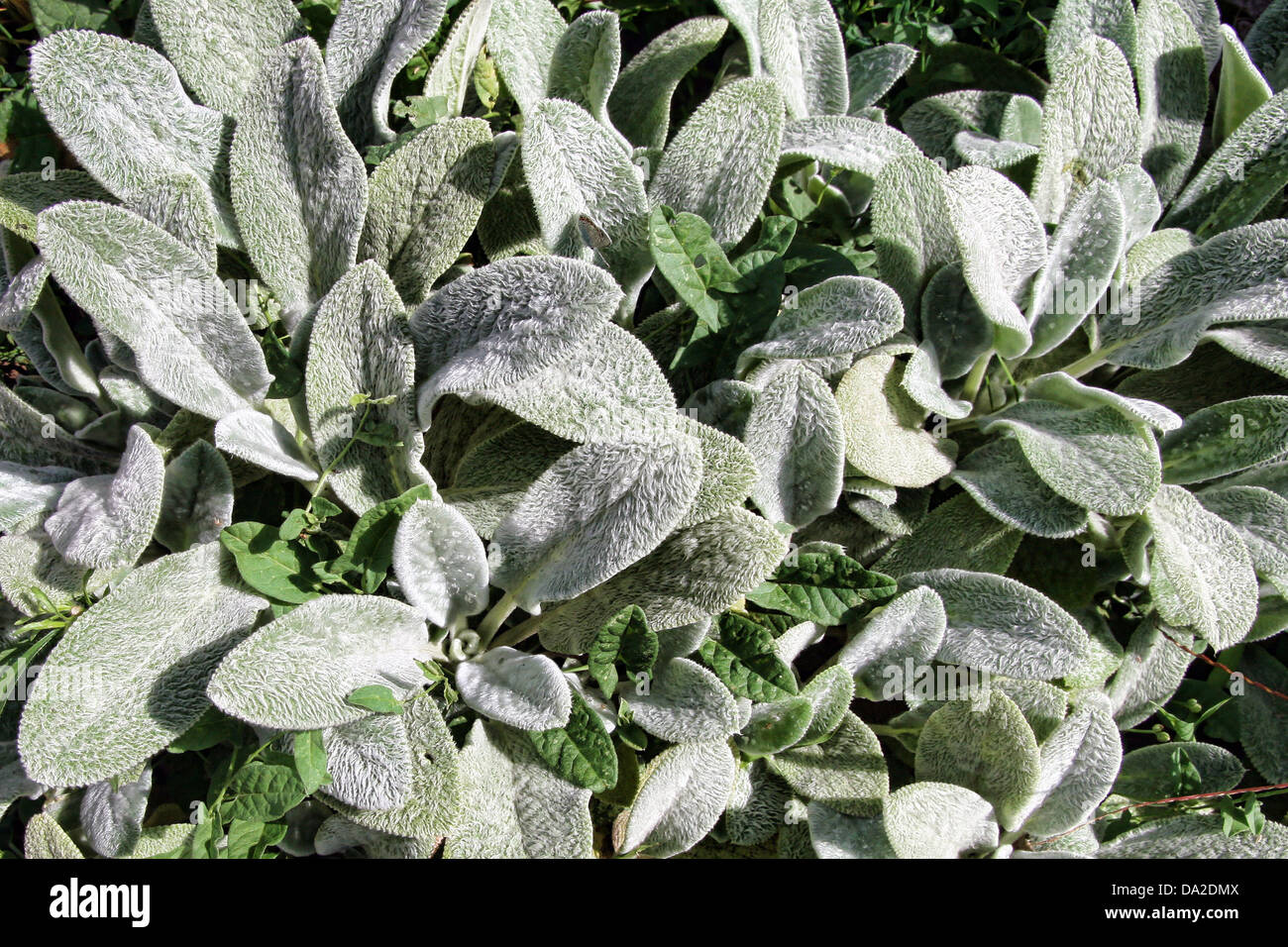 This is a close up shot of hairy leaves Stachys lanata like nice nature background. - Stock Image