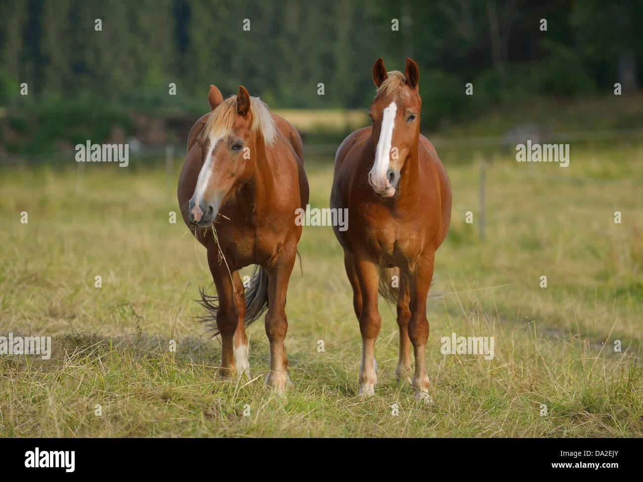 Domestic horses (Equus ferus caballus), Munsö, Sweden - Stock Image
