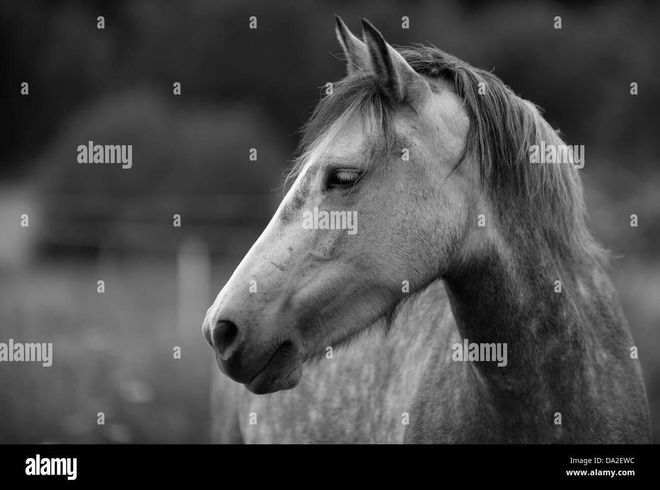Black Horse Equus Feru...
