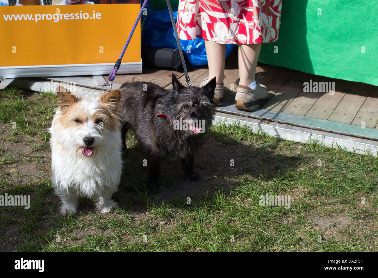 Two small dogs on dog-leads. - Stock Image