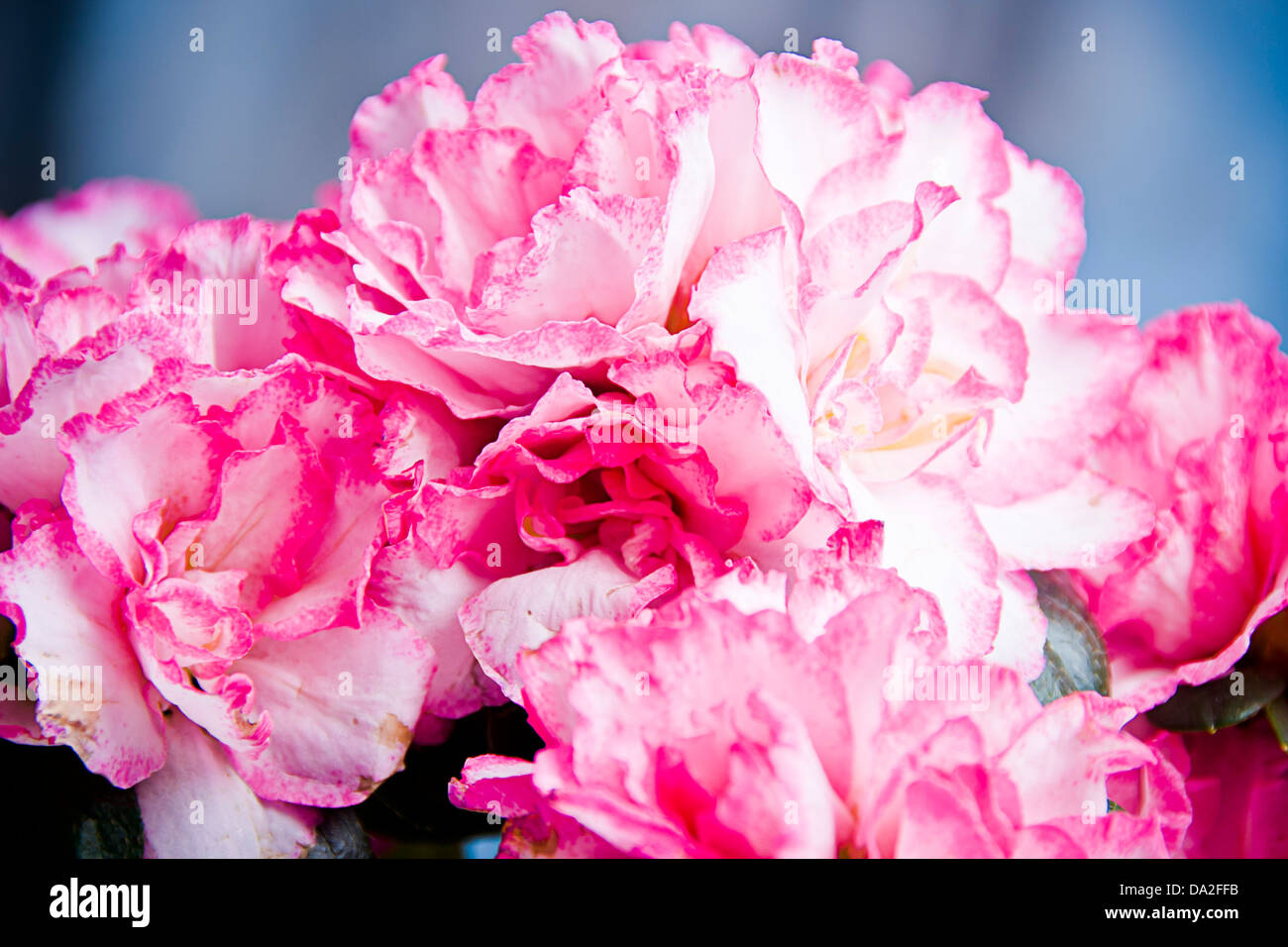 pink Carnation flowers - Stock Image
