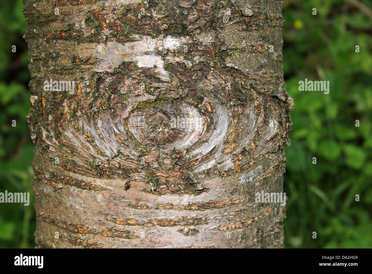 Tree Branch Knot On Tree Trunk Resembling Eye - Stock Image