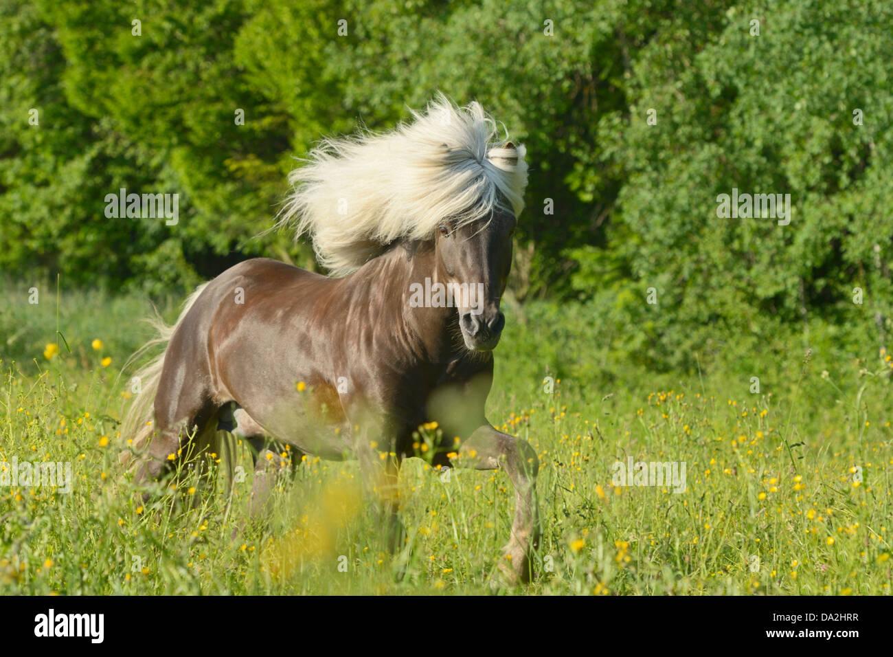 Silver dapple Icelandic horse stallion with long mane - Stock Image