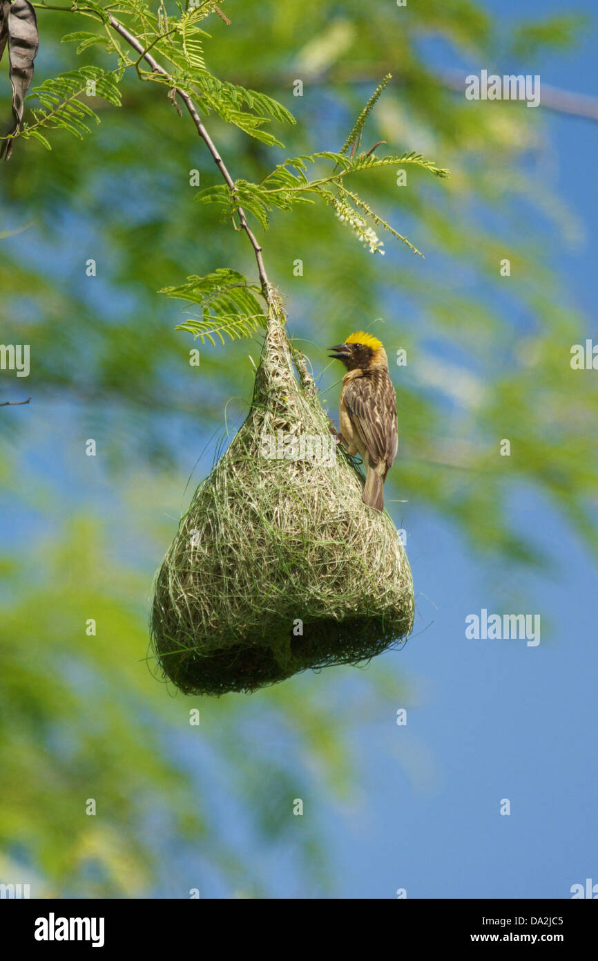 The Baya Weaver (Ploceus philippinus) is a weaverbird found across South and Southeast Asia. - Stock Image