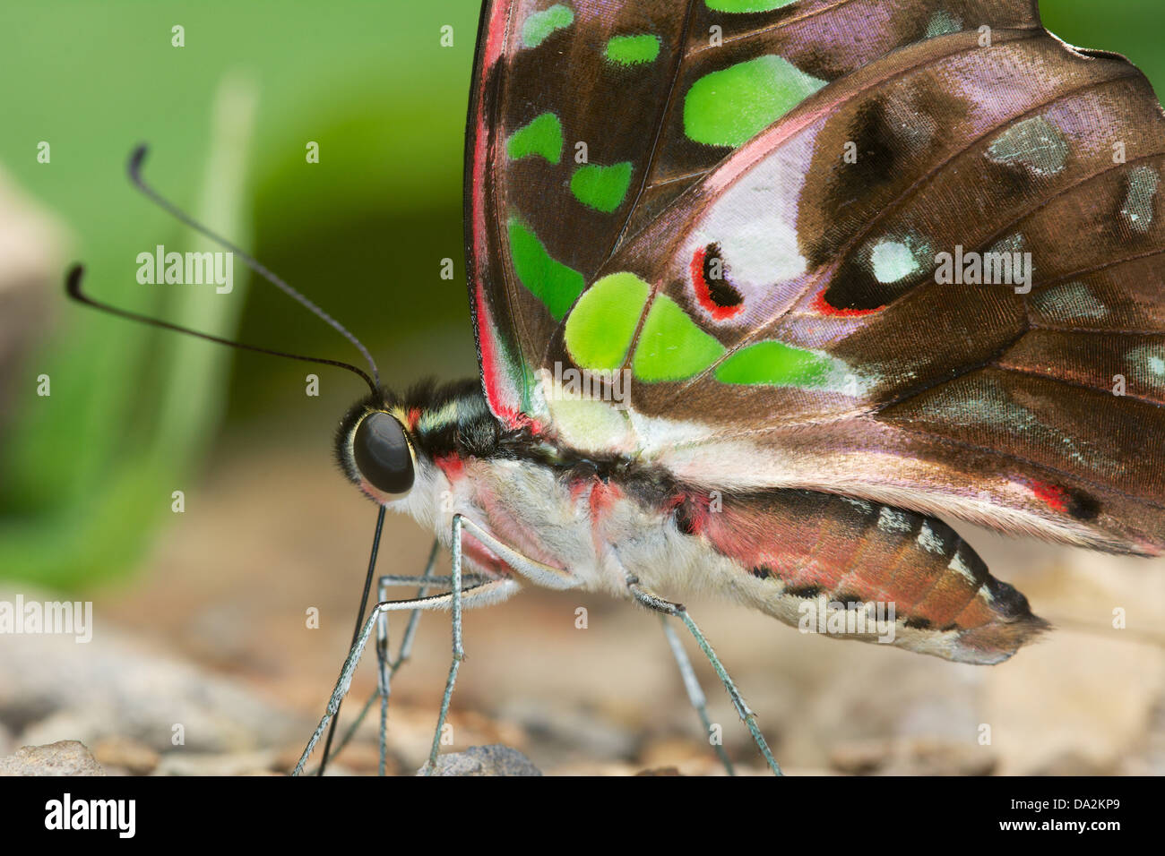 The Tailed Jay (Graphium agamemnon) is a predominantly green and black tropical butterfly - Stock Image