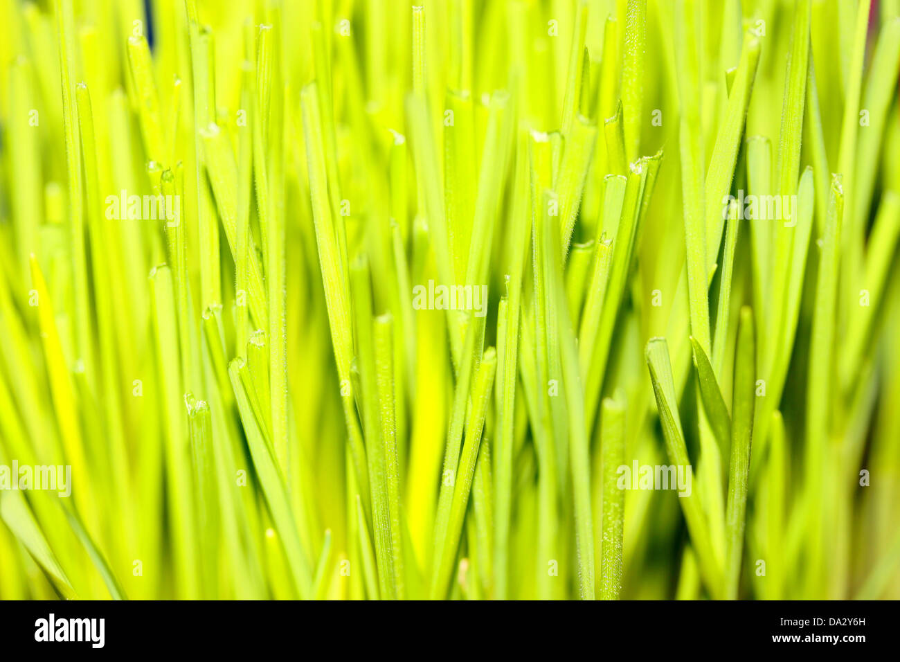 This is a closeup shot of young green wheat. Stock Photo