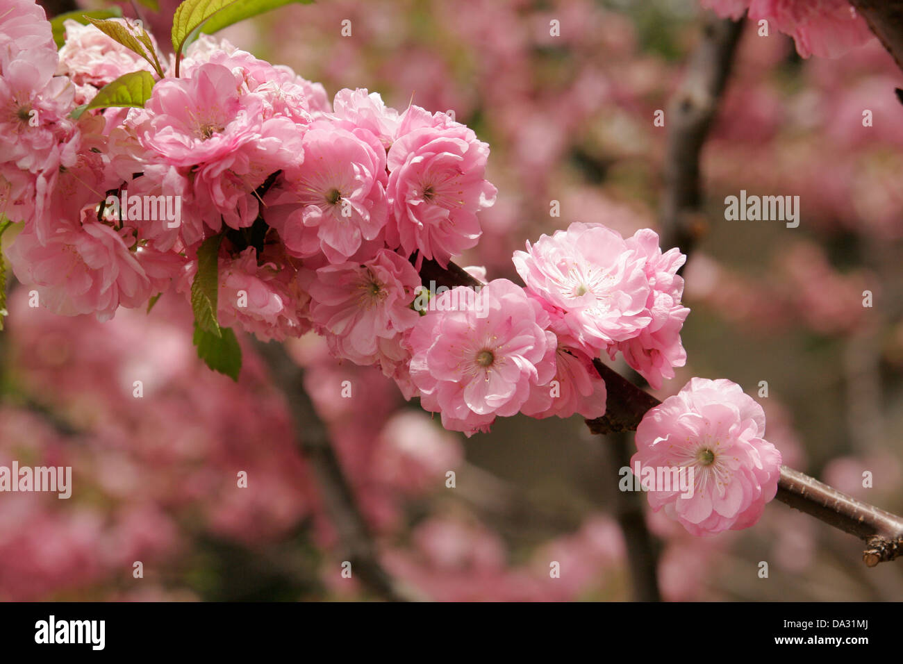 Pink Flowers On The Fruit Tree In Blossom Beijing China Stock