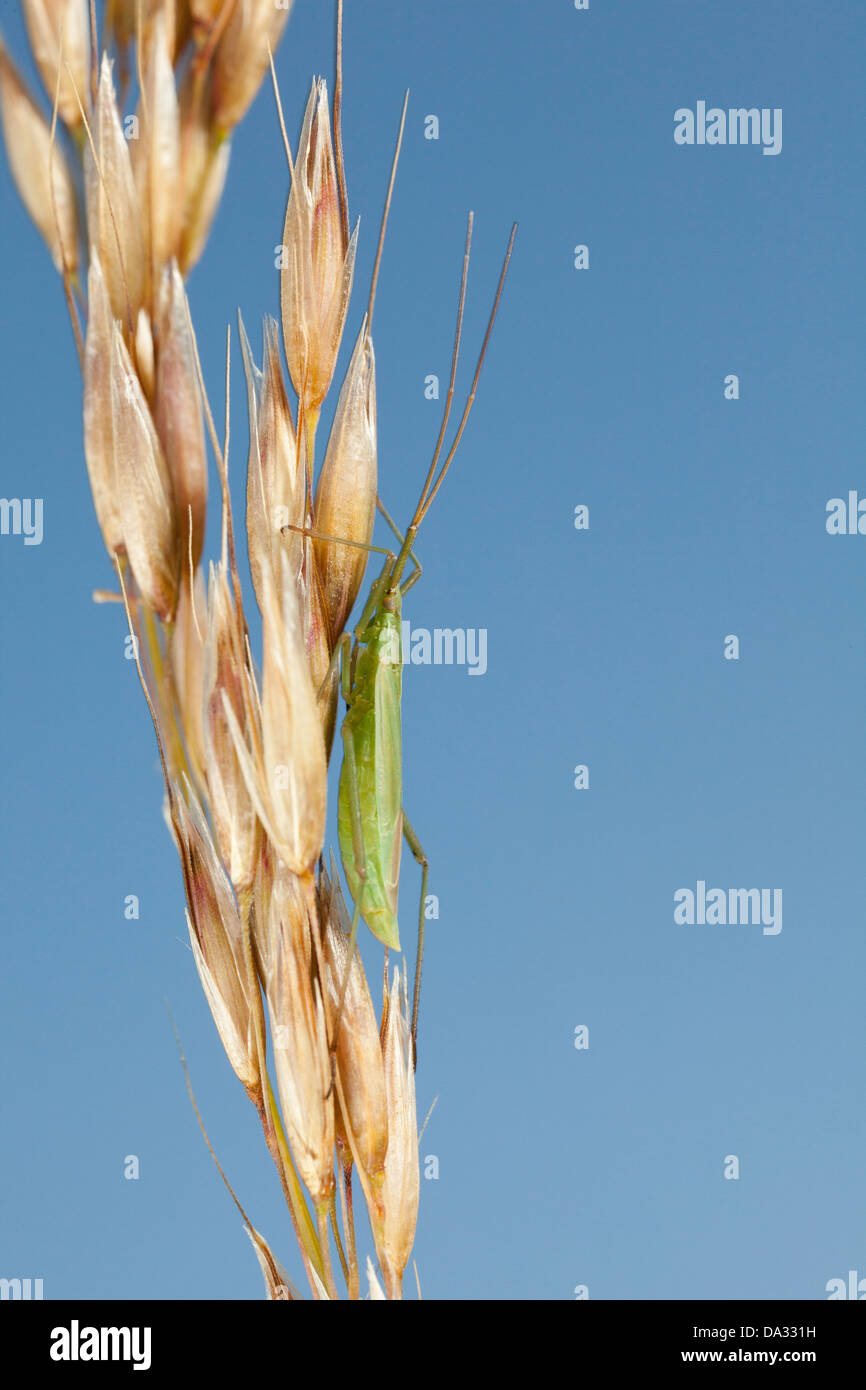 A species of capsid bug rest on a grass stem in Hampshire England - Stock Image