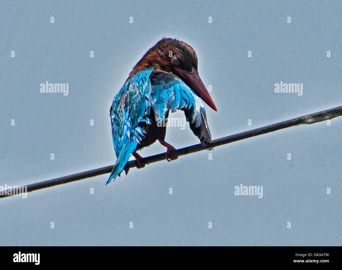 White throated kingfisher (Halcyon smyrnensis) in the backwaters of Kerala, India - Stock Image
