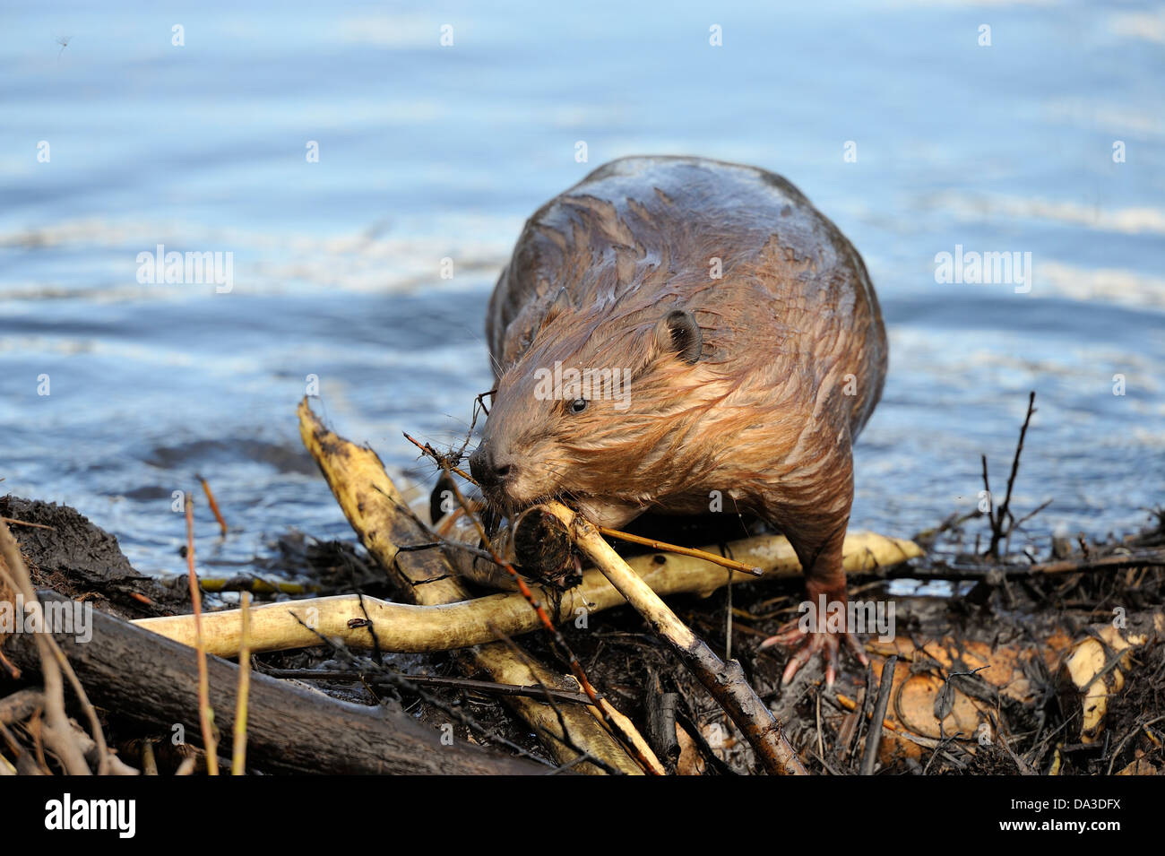 An adult beaver uses his mouth to place a stick on the leaking dam. - Stock Image