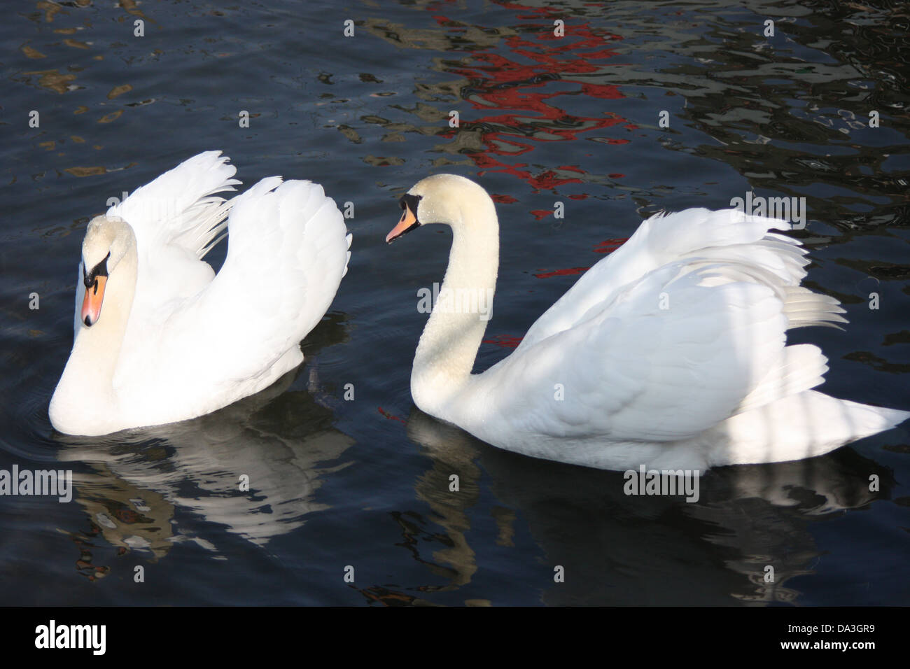 Swans ruffling their feathers - Stock Image