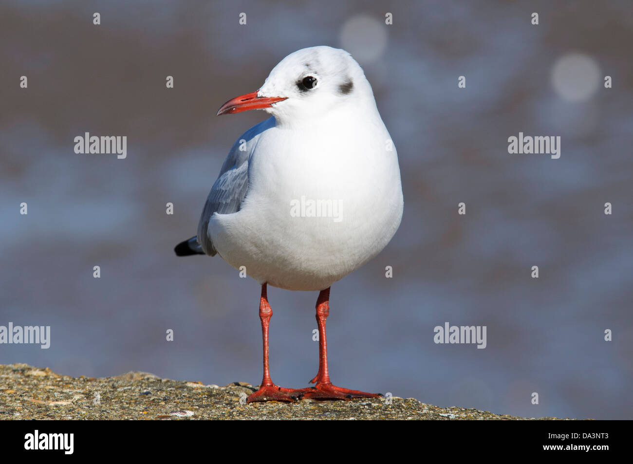 An adult black-headed gull (Larus ridibundus) in winter plumages standing on the sea wall at Leysdown-on-Sea. Stock Photo