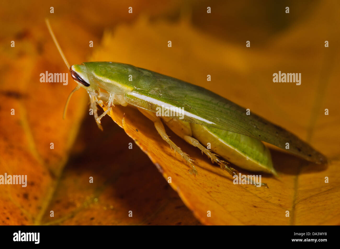 A green banana cockroach (Panchlora nivea) on an autumn leaf. A native of Cuba, the Caribbean and some southern - Stock Image