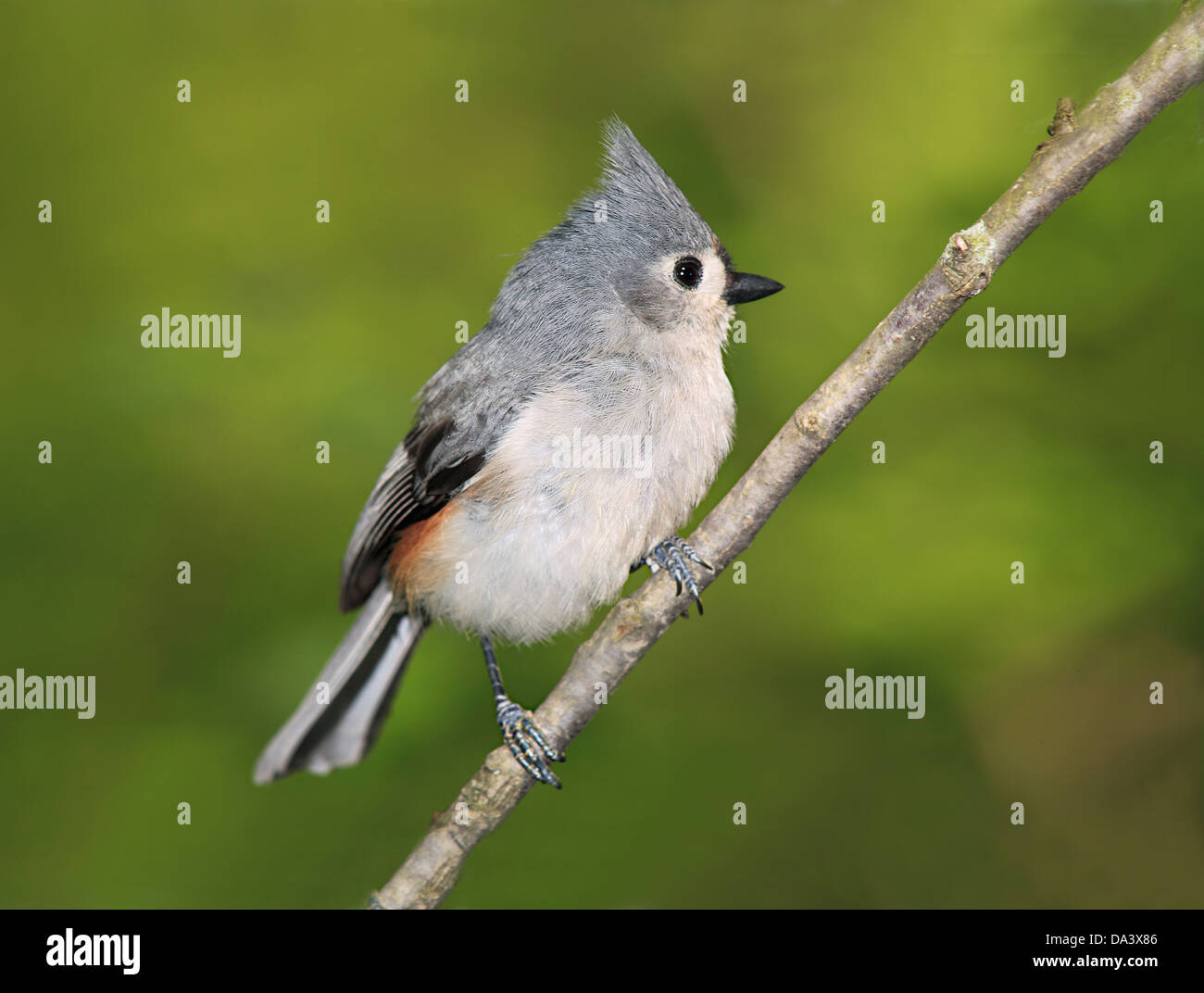 A Cute Little Bird, The Tufted Titmouse, Nicely Posing With It's Crest Raised And It's Feathers Fluffed, Parus bicolor Stock Photo