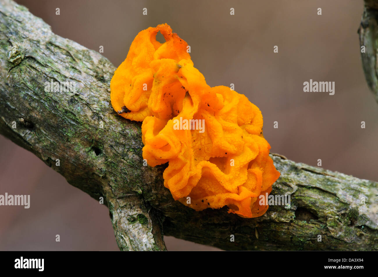 A fruiting body of yellow brain fungus (Tremella mesenterica) growing on a twig at Gilfach Farm Nature Reserve, - Stock Image