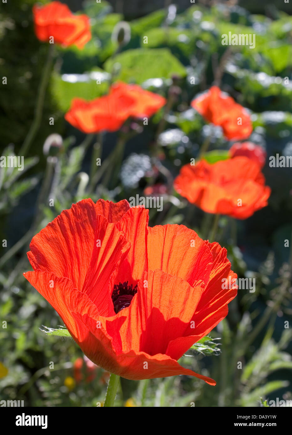 Bright red oriental poppies in flower in garden herbaceous border, backlit in sunshine,early summer, Cumbria, England Stock Photo