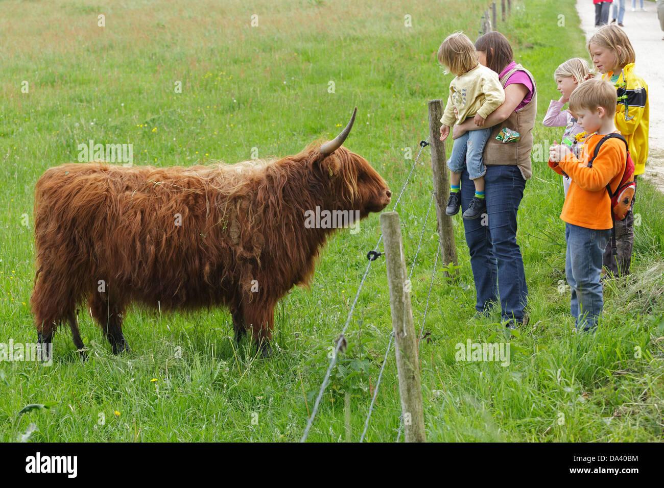 family looking at Highland Cattle, Haithabu, Schlei, Schleswig-Holstein, Germany - Stock Image