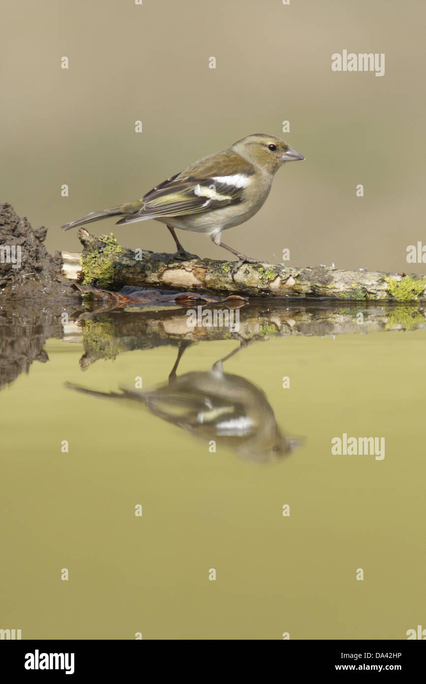 Chaffinch (Fringilla coelebs) adult female perched on lichen covered twig at edge of pool with reflection West Yorkshire - Stock Image