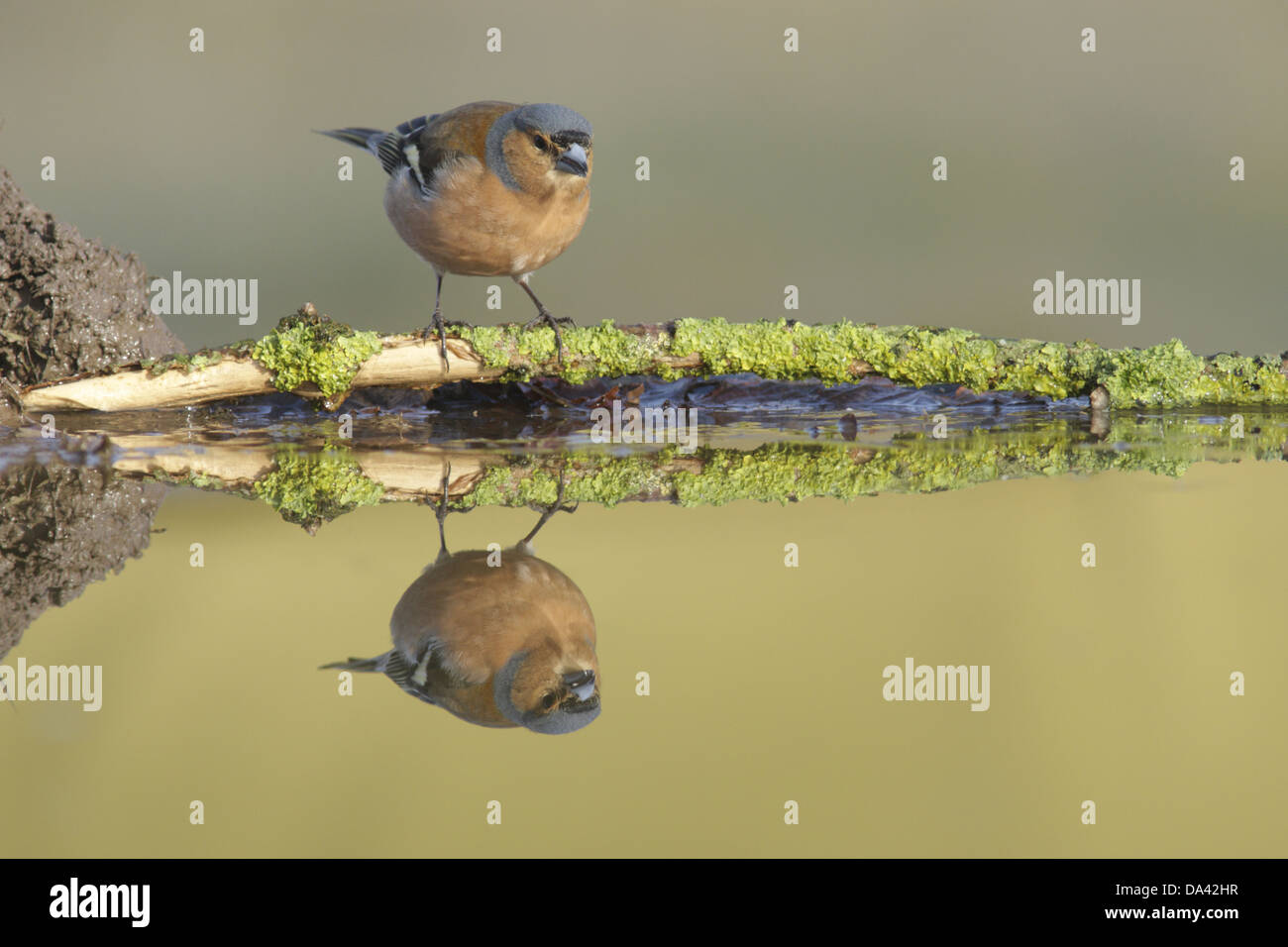 Chaffinch (Fringilla coelebs) adult male perched on lichen covered twig at edge of pool with reflection West Yorkshire - Stock Image
