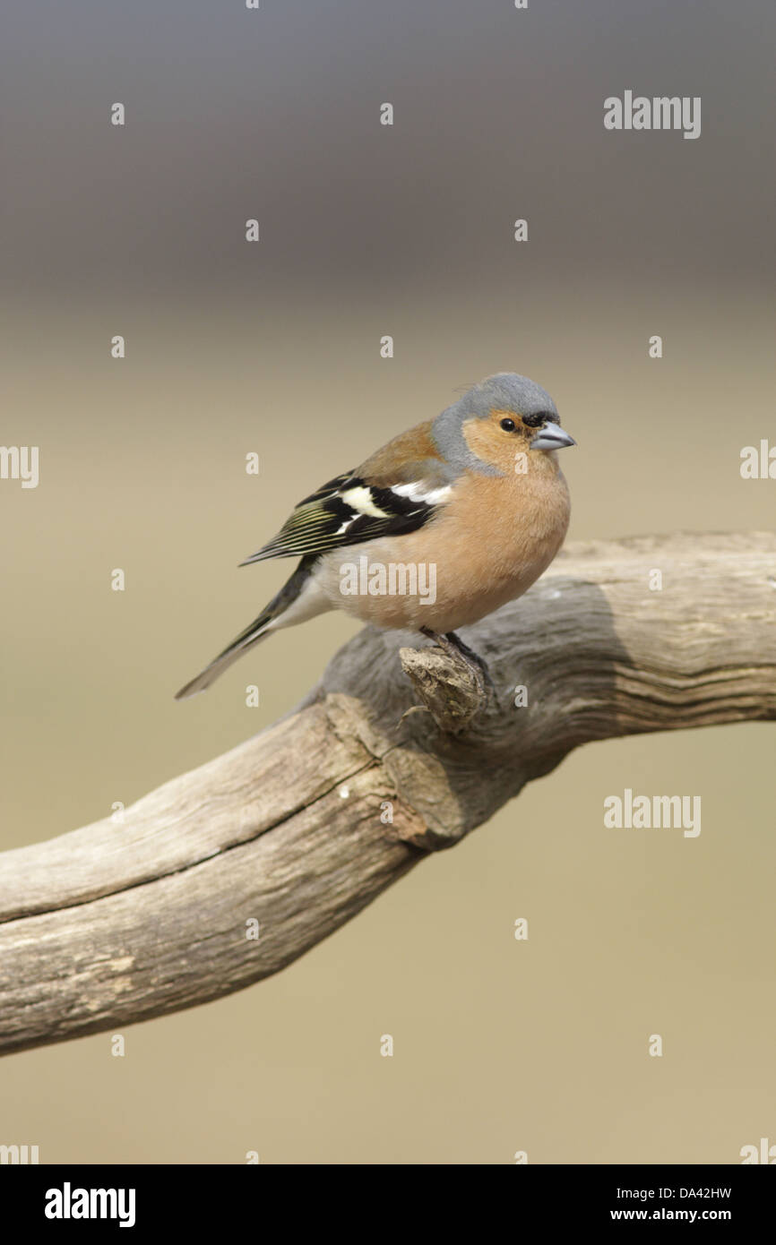 Chaffinch (Fringilla coelebs) adult male, perched on branch, West Yorkshire, England, April - Stock Image