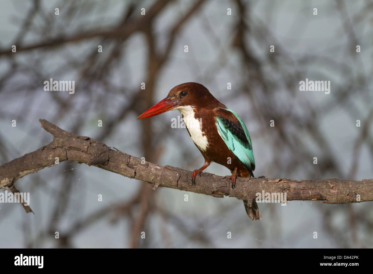 White-throated Kingfisher (Halcyon smyrnensis) adult perched on branch Keoladeo Ghana N.P. (Bharatpur) Rajasthan - Stock Image