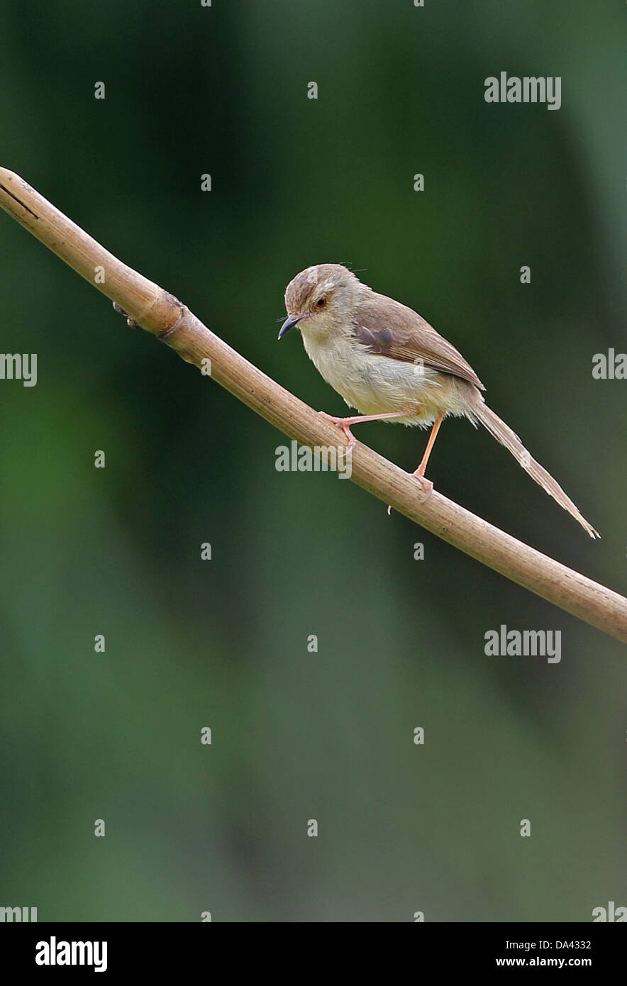 Plain Prinia (Prinia inornata flavirostris) adult, perched on stem, Taiwan, April Stock Photo