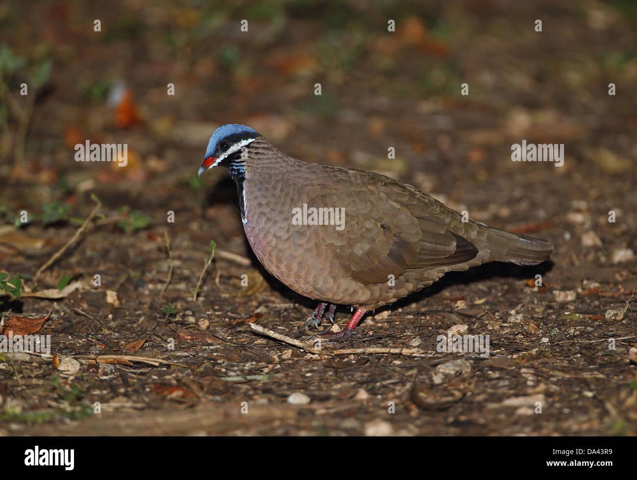 Blue-headed Quail-dove (Starnoenas cyanocephala) adult walking on forest floor Zapata Peninsula Matanzas Province Stock Photo