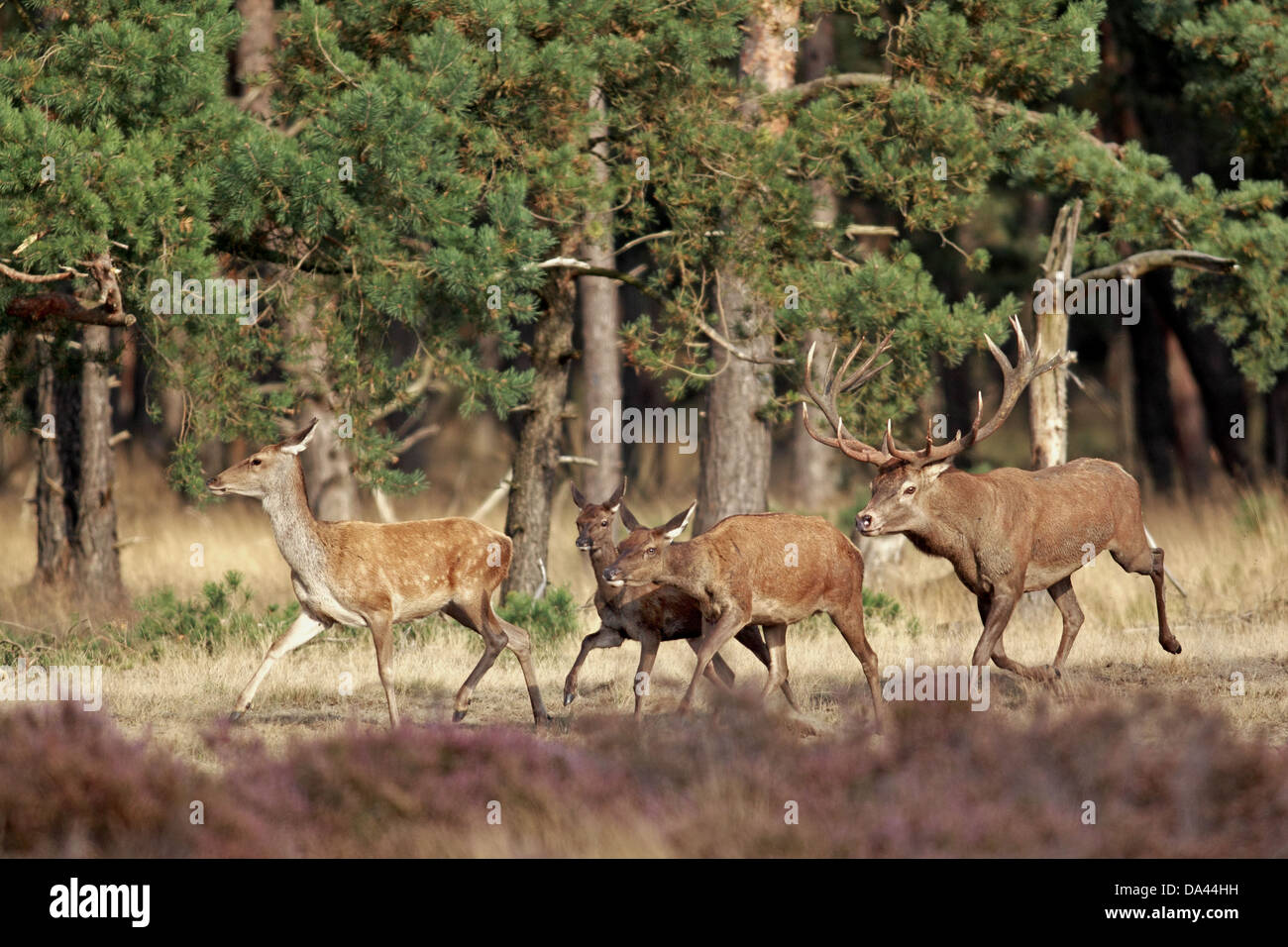 Red Deer (Cervus elaphus) mature stag following hinds during rutting season running in wooded heathland Hoge Veluwe Stock Photo