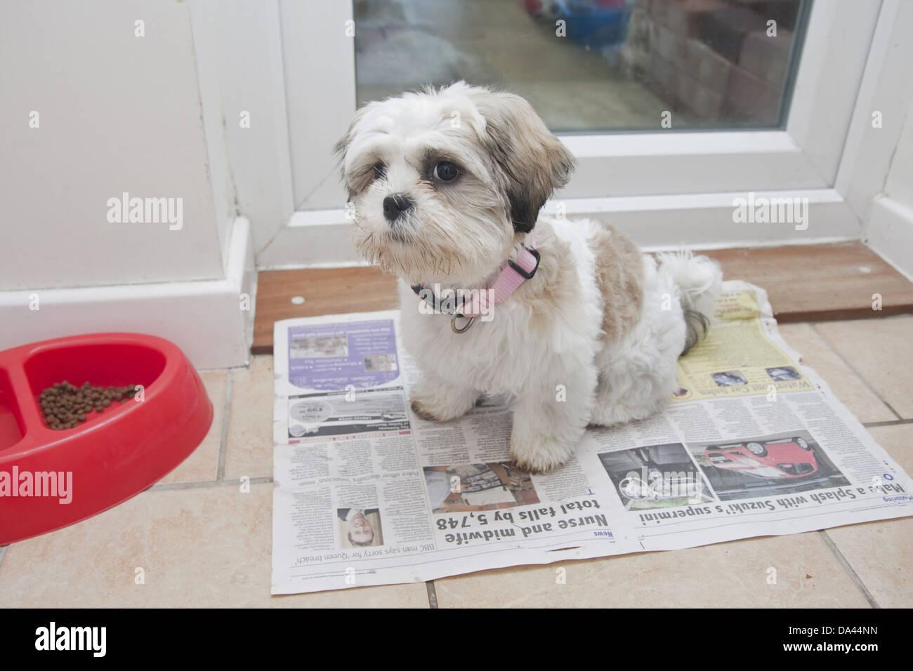 Domestic Dog Shih Tzu Puppy Toilet Training On Newspaper Beside