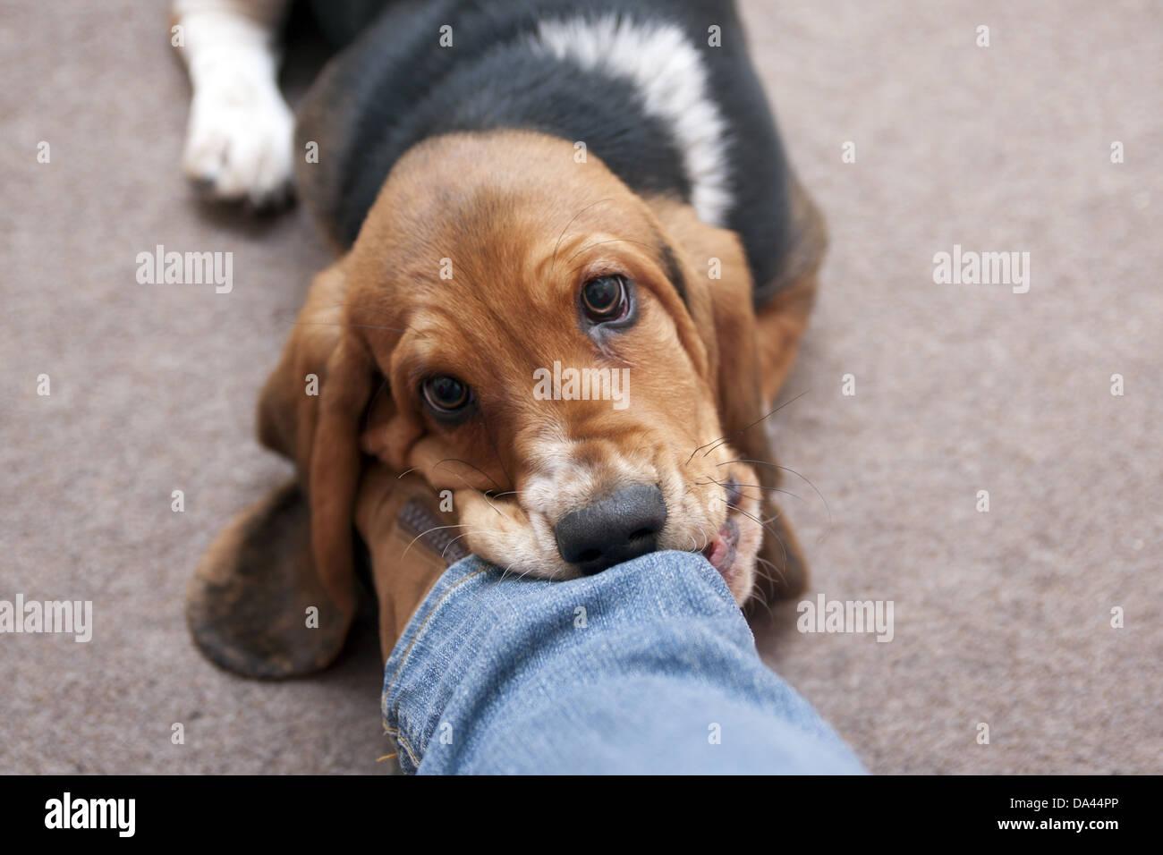 Beißender Hund