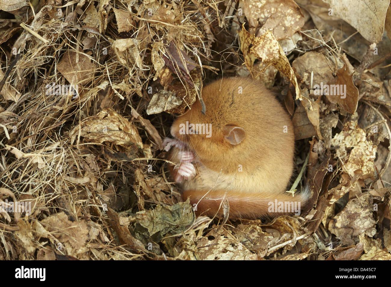 Hazel Dormouse (Muscardinus avellanarius) adult hibernating in nest part of re-introduction breeding programme Kent - Stock Image
