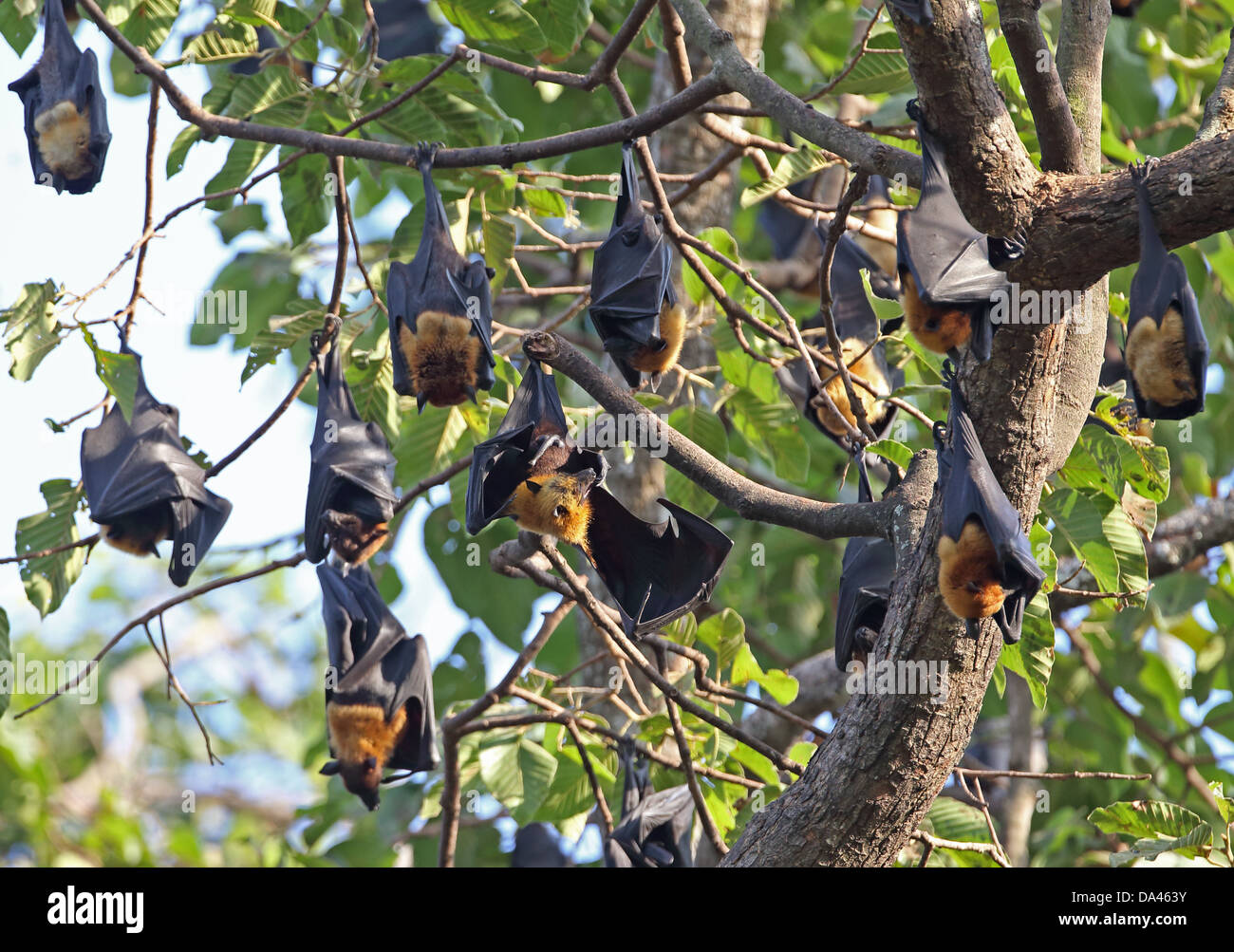 Lyle's Flying Fox (Pteropus lylei) adults, group hanging at daytime roost, Siem Reap, Cambodia, January Stock Photo