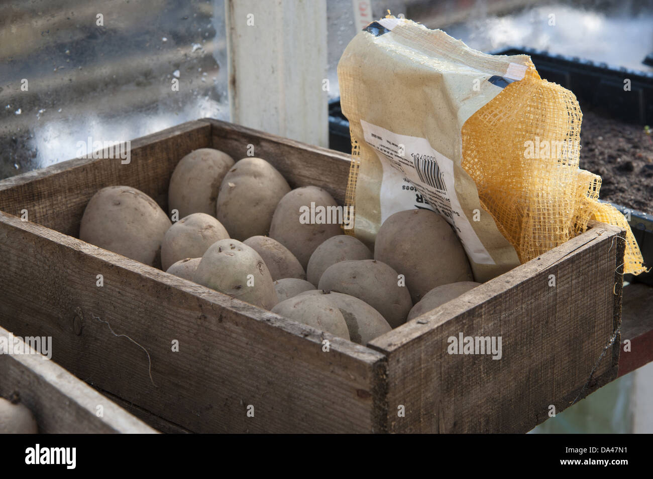 Potato (Solanum tuberosum) 'Maris Piper' variety seed tubers in wooden box in garden greenhouse Chipping - Stock Image