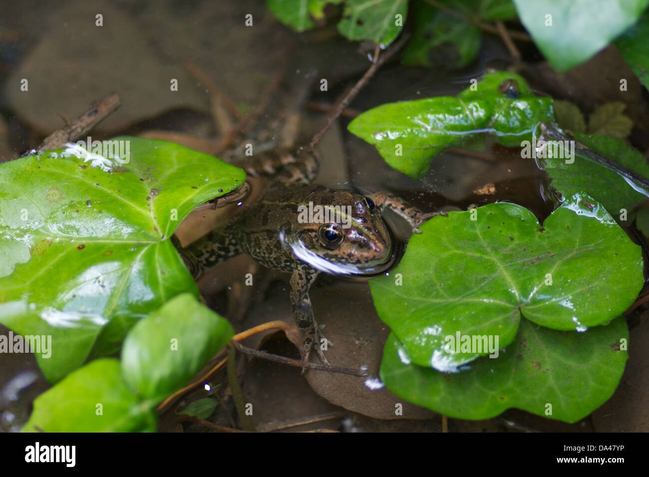 A Marsh Frog (Pelophylax ridibundus) at Krka National Park in Sibenik, Dalmatia, Croatia. - Stock Image