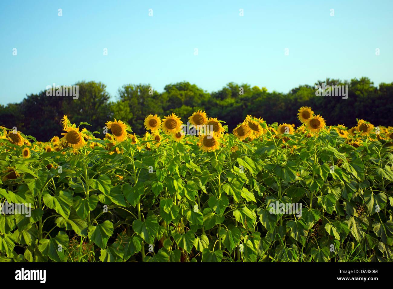Sunflowers in Texas Sunshine - Stock Image