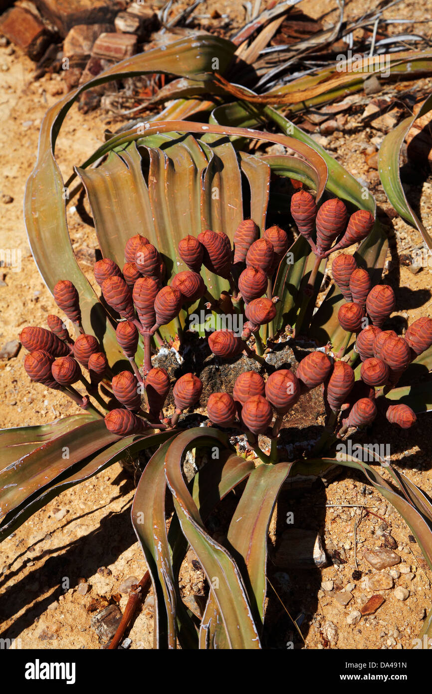 Cones on female Welwitschia plant at the Petrified Forest, Damaraland, Namibia, Africa - Stock Image