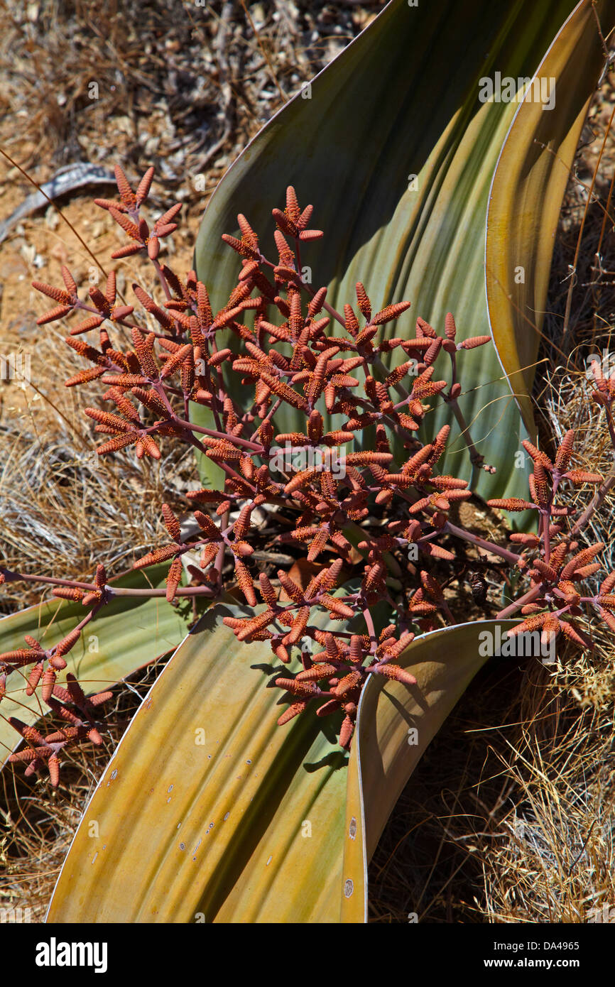 Cones on male Welwitschia plant at the Petrified Forest, Damaraland, Namibia, Africa - Stock Image