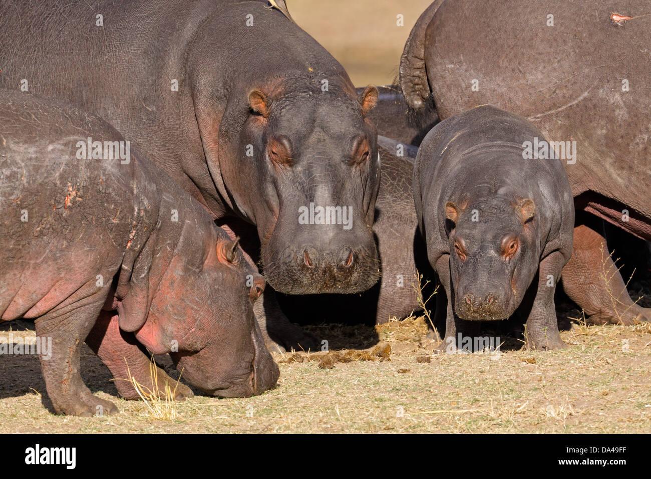 Hippo family (Hippopotamus amphibius) outside the water, South Africa Stock Photo