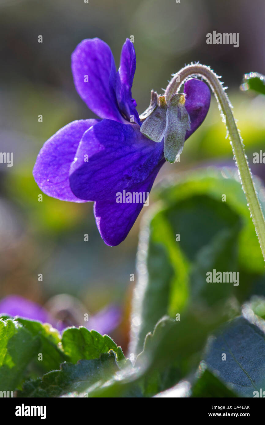 Wood violet / sweet violets / English violet (Viola odorata) in flower in spring - Stock Image