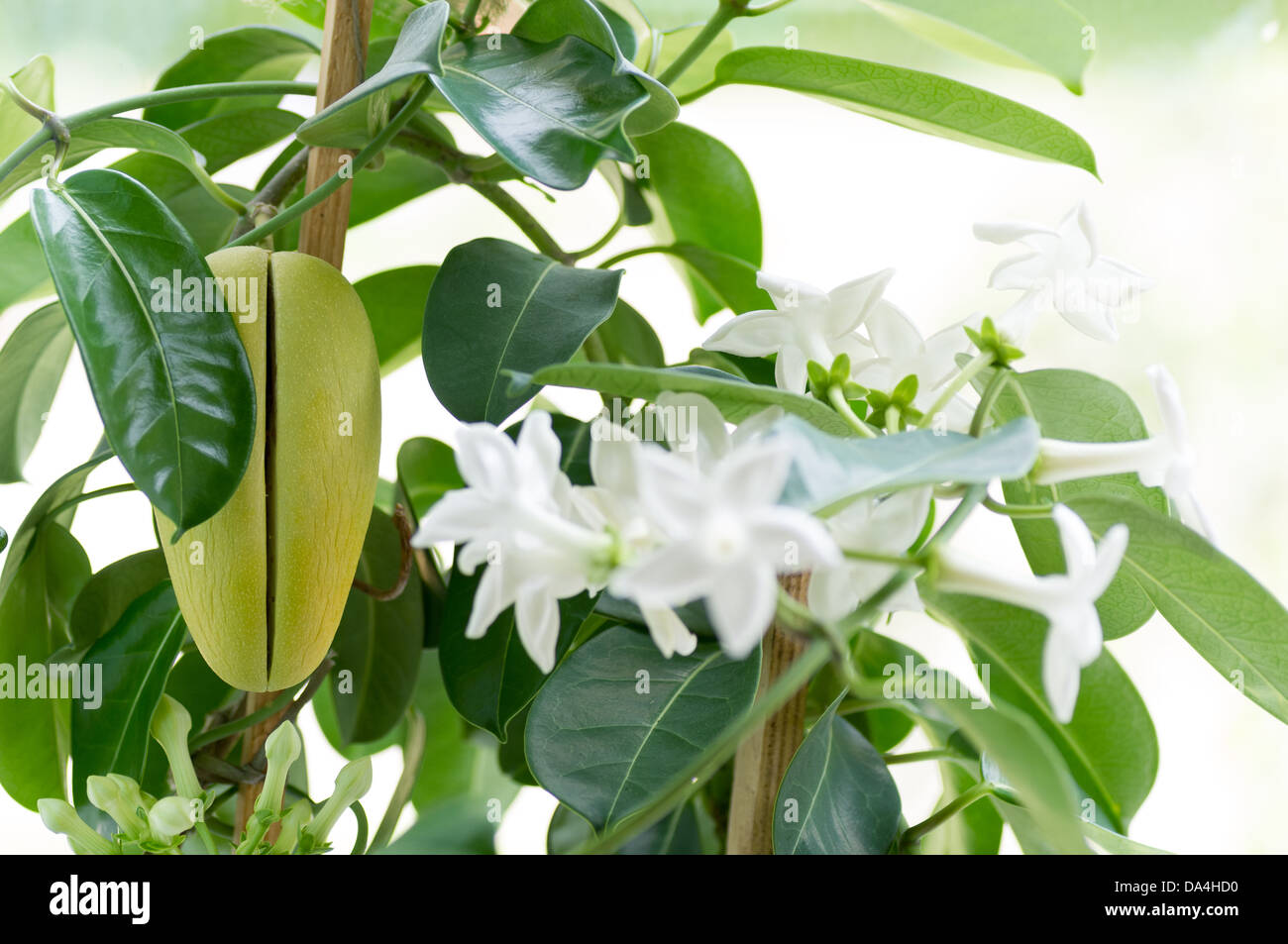 A stephanotis plant with several white flower buds and fruit. - Stock Image
