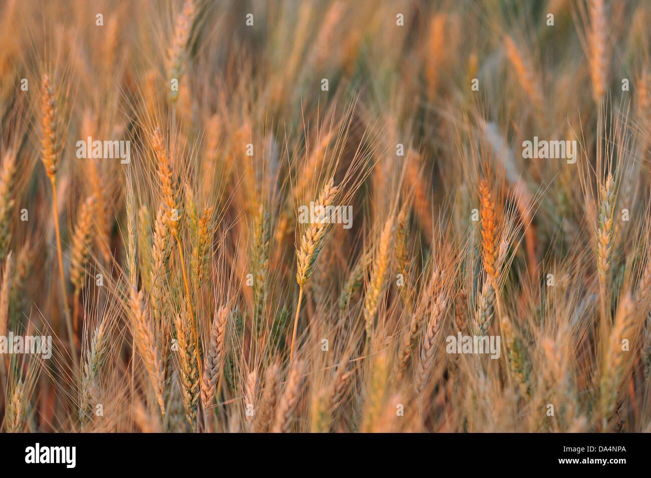 Wheat farm, Colorado, USA - Stock Image
